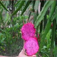 自花授粉      红心火龙果      香味浓厚      果皮薄    果肉多