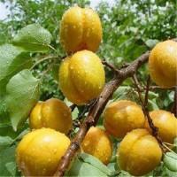 万诺 珍珠油杏    荷兰香蜜杏   丰园红杏  结果快  先挖现卖   价格优惠